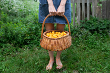 Woman Holding Basket Of Apricots