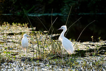 Snowy Egrets On River