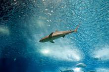 Salt Water Aquarium Shark