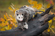 Opossum (Didelphimorphia) Stands With Joeys at End of Log Autumn