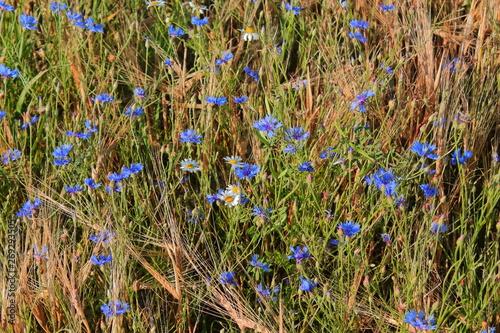 Fototapety, obrazy: field with blue cornflowers. flowers cornflowers. many blue flowers among the ears on the field. blue flowers cornflowers