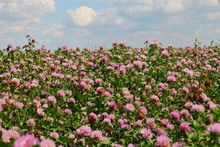 Large Field With Flowering Clo...
