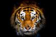 Siberian tiger, Panthera tigris altaica, also known as the Amur tiger