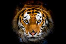 Siberian Tiger, Panthera Tigri...