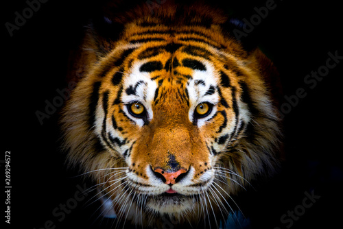 Photo sur Toile Tigre Siberian tiger, Panthera tigris altaica, also known as the Amur tiger