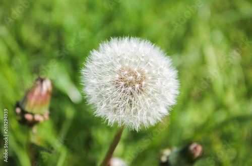 Dmuchawiec (mniszek lekarski, mniszek pospolity) na tle zielonej trawy - 269294939