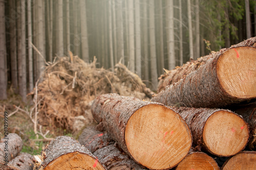 Fresh cut wood in the forest - Germany