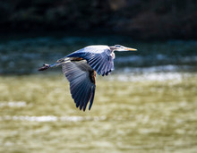 A Great Blue Heron Flying Over The River.