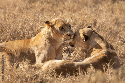 2 lionesses showing affection in the Maasai Mara, Kenya Africa