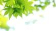 新緑 風で揺れる青もみじ イメージ