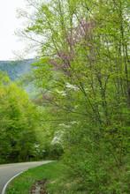 Dogwoods Blooming Along A Moun...
