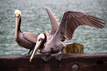 Pelicans Ready For Take Off Cl...