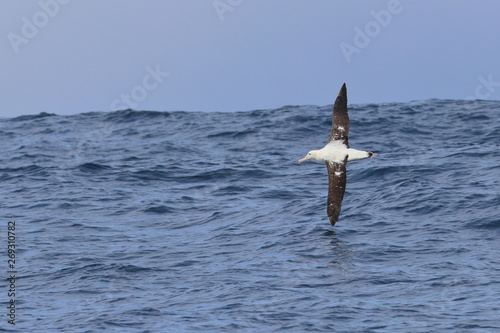 wandering albatross Wallpaper Mural