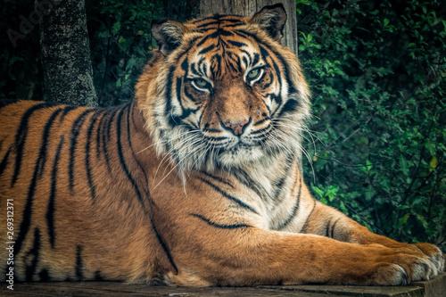 In de dag Tijger A Siberian tiger face on.