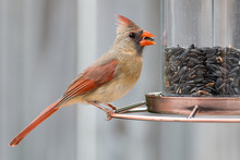 Female Cardinal Bird Eating Seeds From A Bird Feeder.