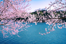 Cherry Blossoms Blooming In The Blue Lake In The Summer Palace