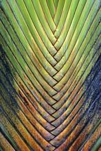 Tree Trunk, Traveller's Palm (Ravenala Madagascariensis), Detail View, La Fortune, Province Alajuela, Costa Rica, Central America