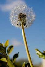 A Single Dandelion Is Ready To...