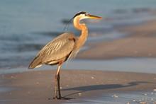 Great Blue Heron On The Beach ...