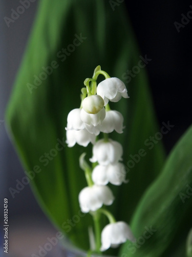 Poster Muguet de mai lilies of the valley blossomed on a dark natural background, a narrow focus area
