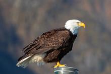 Bald Eagle In Seward Alaska Un...