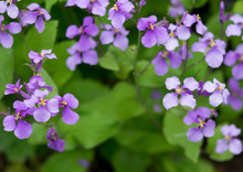 Purple Flower Is Blooming In The Part Of The Bitanic Garden,