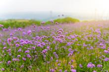 Violet Verbena Flowers On Blur...