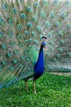 Peacock With Tail In Plume Spr...