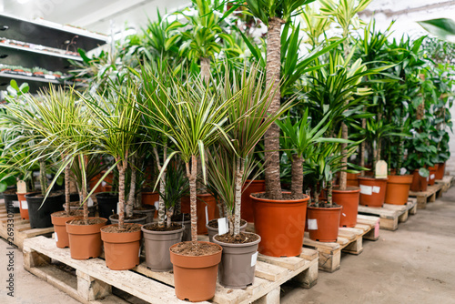 Fototapeta Many different high plants in flower pots in flowers store. Garden center and wholesale supplier concept. Green background. Lots of leaves. obraz