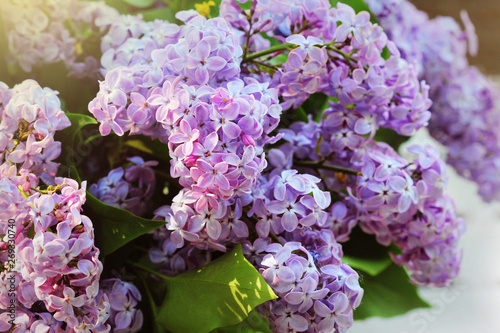 Cadres-photo bureau Jardin A branch of sirens on a tree in a garden, park. Beautiful flowering flowers of lilac tree at spring. Blossom in Spring. Spring concept.