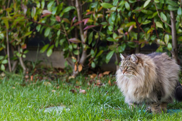 Naklejka na ściany i meble Furry cat of livesrtock in relax in a garden, purebred siberian pet. Hypoallergenic animal