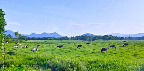 Fototapeta 初夏の北海道、放牧された乳牛達 obraz