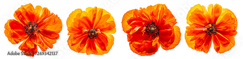 Foto op Canvas Poppy red poppy isolated on a white background