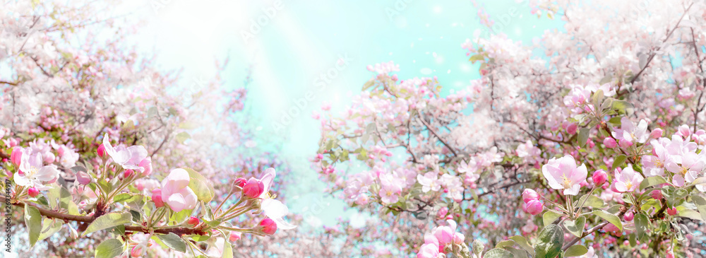Fototapeta Branches of blossoming pink apple on light blue sky background panoramic view