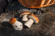 Group Of Harvested Porcini Mus...