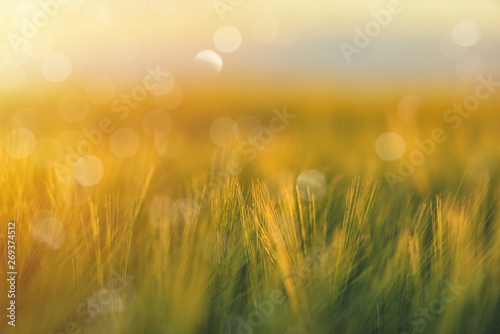 Poster Printemps Golden wheat close up on sun. Rural scene under sunlight. Summer background. Growth harvest