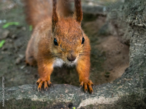 Printed kitchen splashbacks Squirrel Red curious cute squirrel in a natural park.