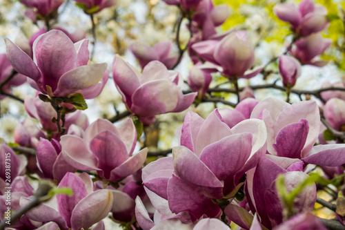 Foto op Plexiglas Magnolia Magnolia blooms in spring. Spring nature. Beautiful flowers