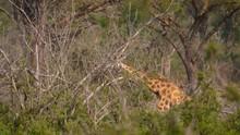 Wild Giraffe Goes Through The ...