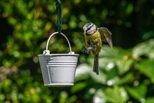Coming Into Land For Lunch On A Garden Bird Feeder Bluetit (Cyanistes Caeruleus)