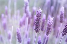 Detail Of Purple Lavender Flower