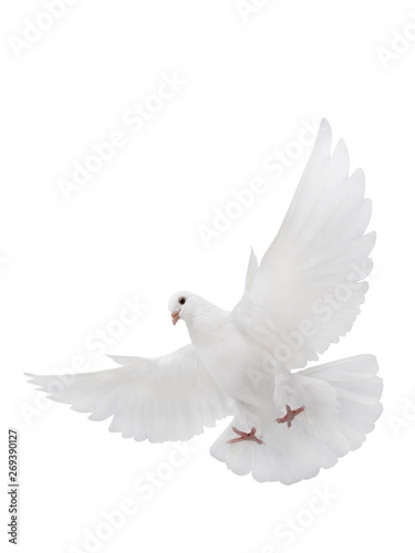fototapeta na lodówkę free flying white dove isolated