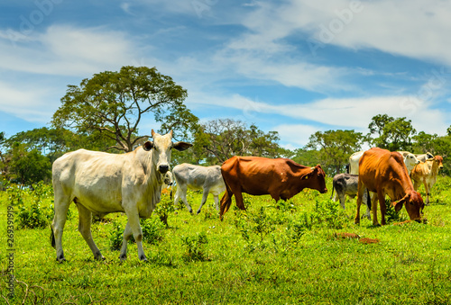 Foto auf AluDibond Brasilien Countryside of Minas Gerais . A Herd of cattle in a pasture in Brazil.