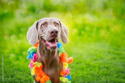 Portrait of a weimaraner breed dog, with Hawaiian collar on his neck. Isolated on green bokeh. Braco de weimar.