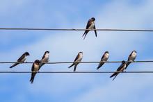 Flock Of Small Black Birds Vil...