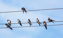 Flock Of Small Black Birds Vil...