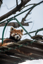 LesserPanda Relaxing Himself On A Suspension Bridge Over A Walking Path Connects The Lesser Pandas' Enclosing.