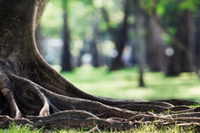Big Tree With Trunk And Roots Spreading Out Beautiful On Grass Green In Nature Forest Background With Sunshine In The Morning.