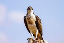 Bird Of Prey. Eagle Osprey. We...
