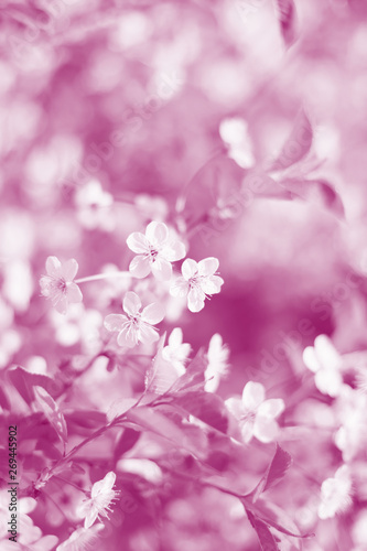 Photo Stands Spring Background with white cherry blossoms. Toned image. Soft selective focus.